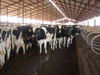 Cows_in_freestall_barn_2